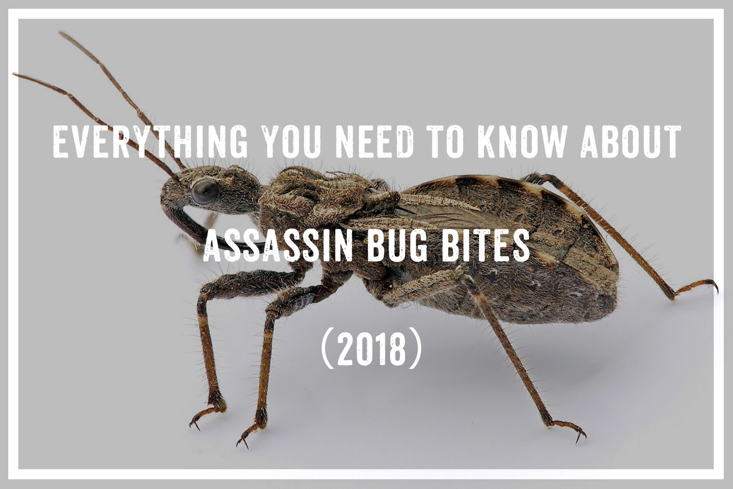 Everything You Need To Know About Assassin Bug Bites (2018