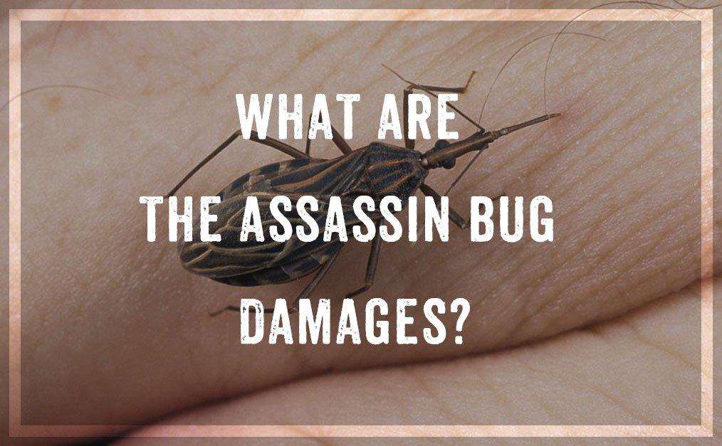 Assassin Bug Damages