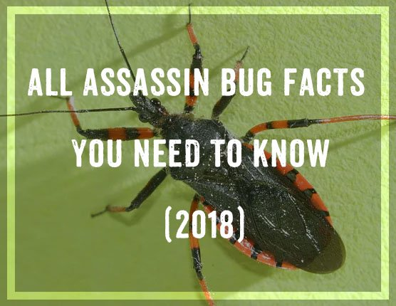 Assassin Bug Facts