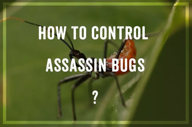 Control Assassin Bugs