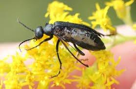 Get Rid of Blister Beetles