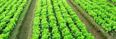 Trap crops