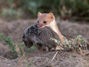 Weasel Diet