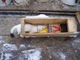 Weasel Trapping