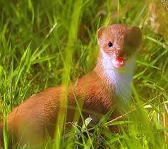 Weasels as Prey