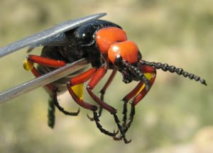 What Can Harm Be Caused By Blister Beetles