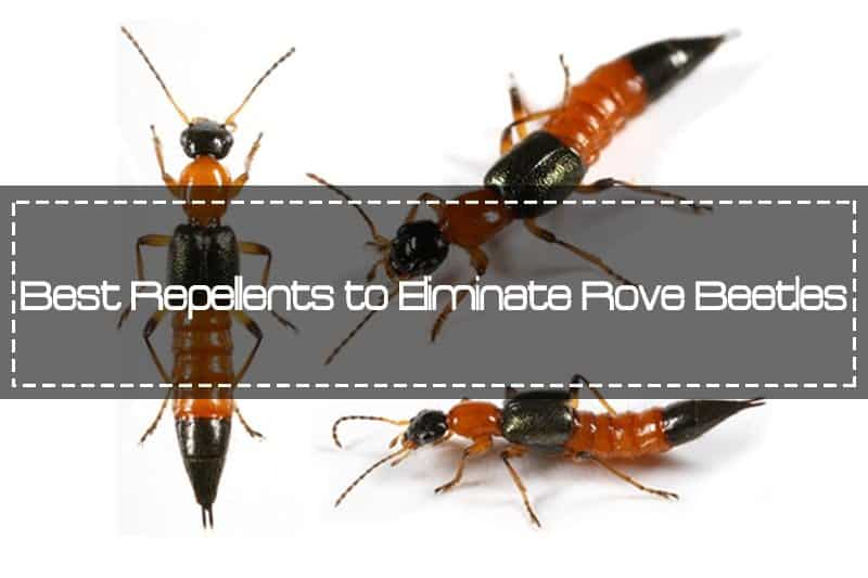 Best Repellents to Eliminate Rove Beetles