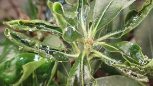 Detect the Presence of Psyllids