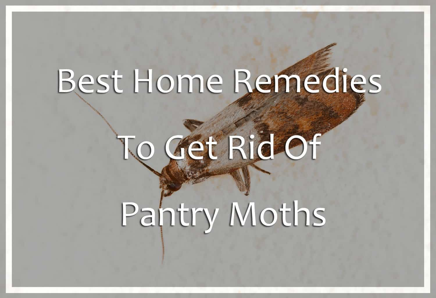 best home remedies to get rid of pantry moths pest wiki rh pestwiki com getting rid of pantry moths getting rid of kitchen moths
