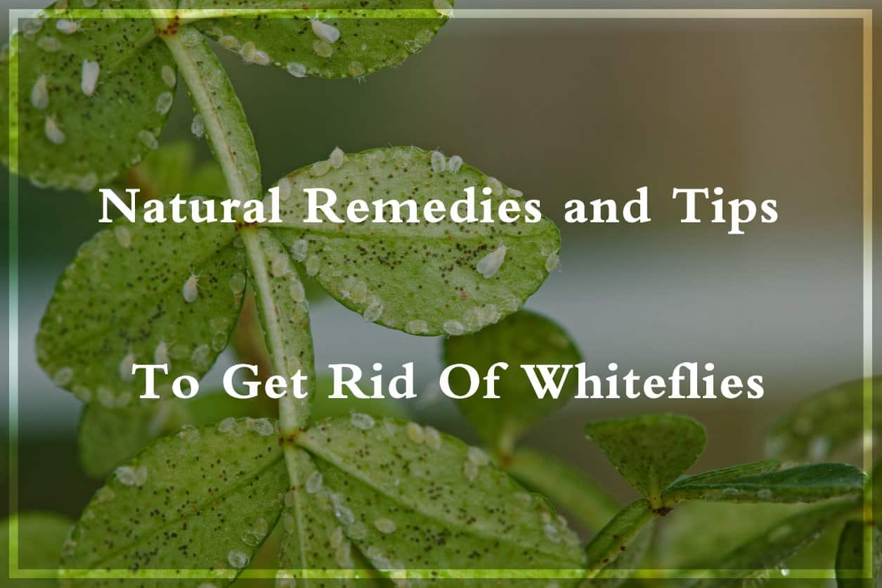 10 Natural Ways To Get Rid Of Whiteflies Pest Wiki