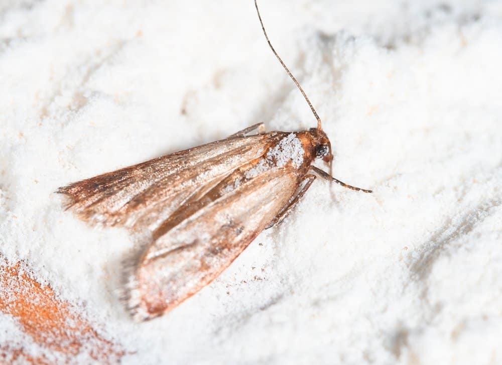 Pantry Moth fact