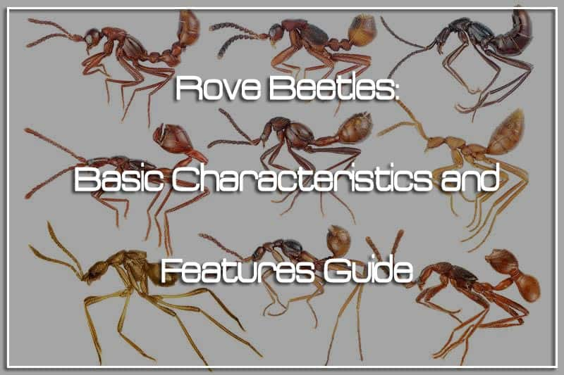 Rove Beetles: Basic Characteristics and Features Guide