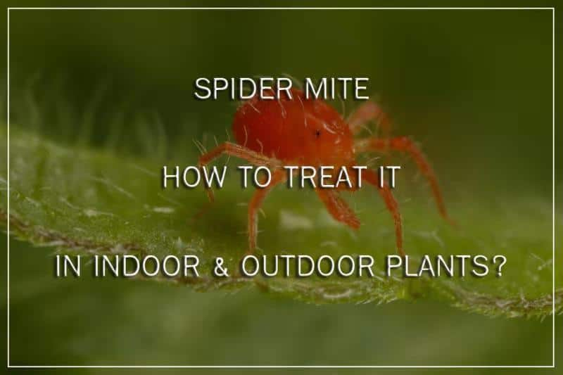 how to control Spider Mite