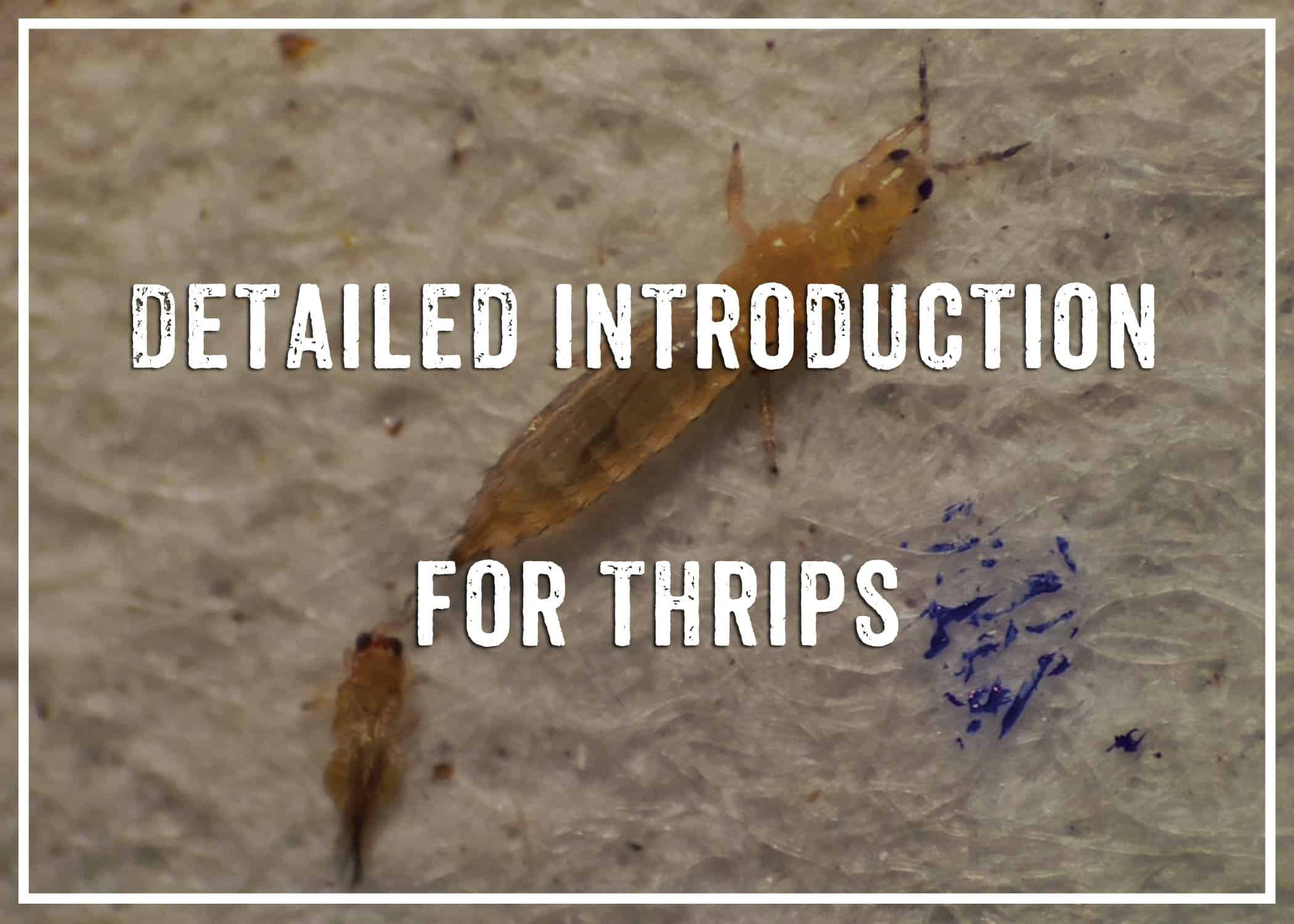 Detailed Introduction for thrips