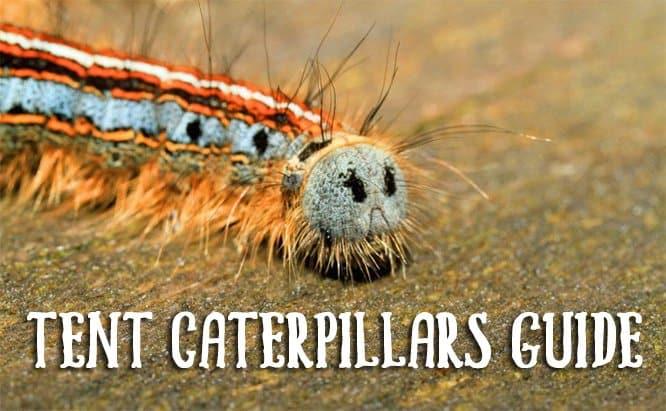 Tent CaterpillarsGuide