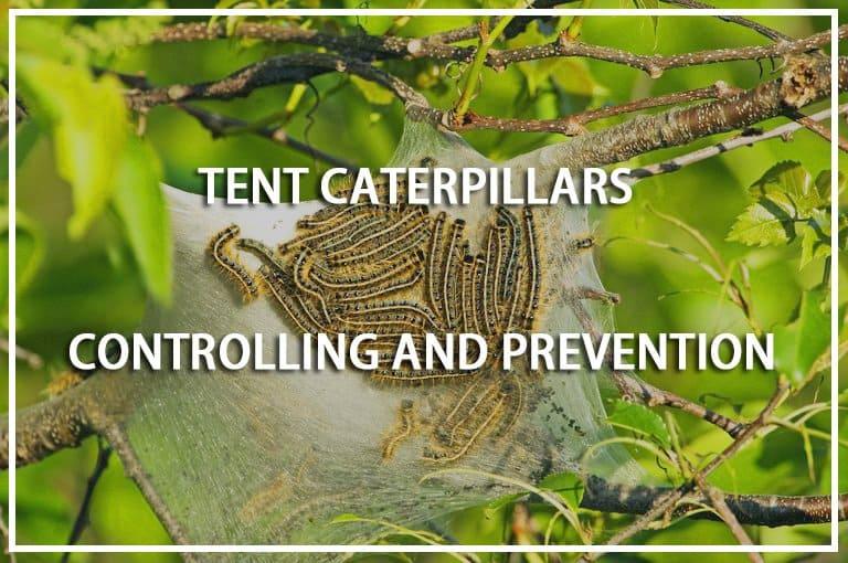 TentCaterpillars Prevention
