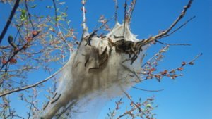 Damages Caused by Tent Caterpillars