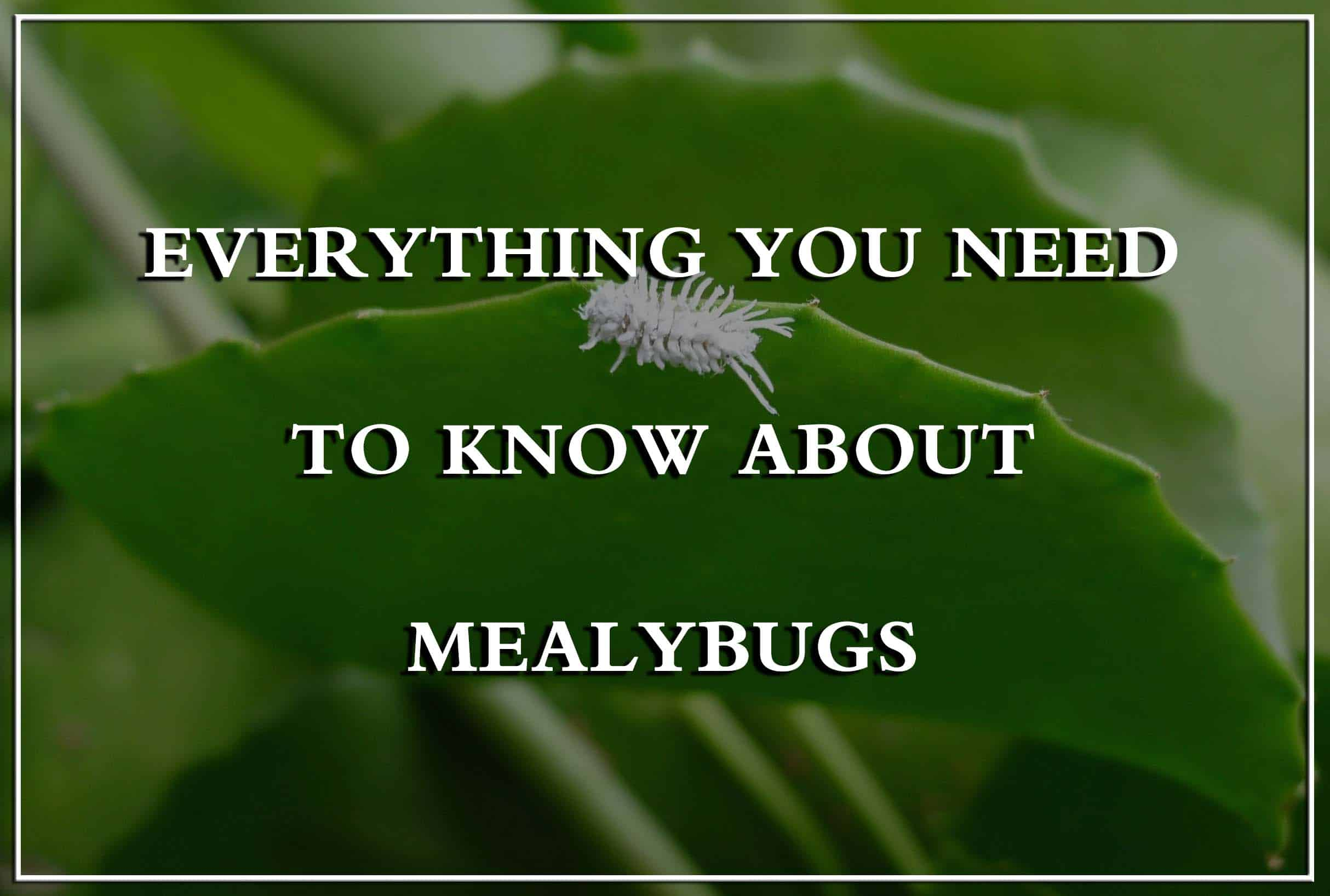 Mealybugs Lifecycle Types Damages And Ways To Control Them Pest