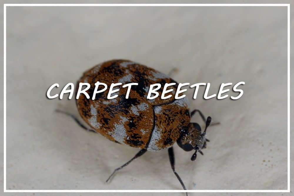 Carpet Beetles: Habits, Infections and How to Control