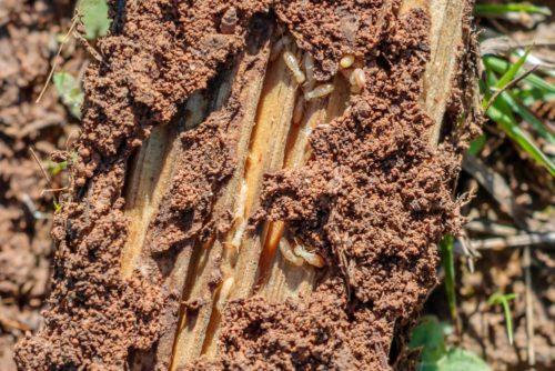 Termites Close Up