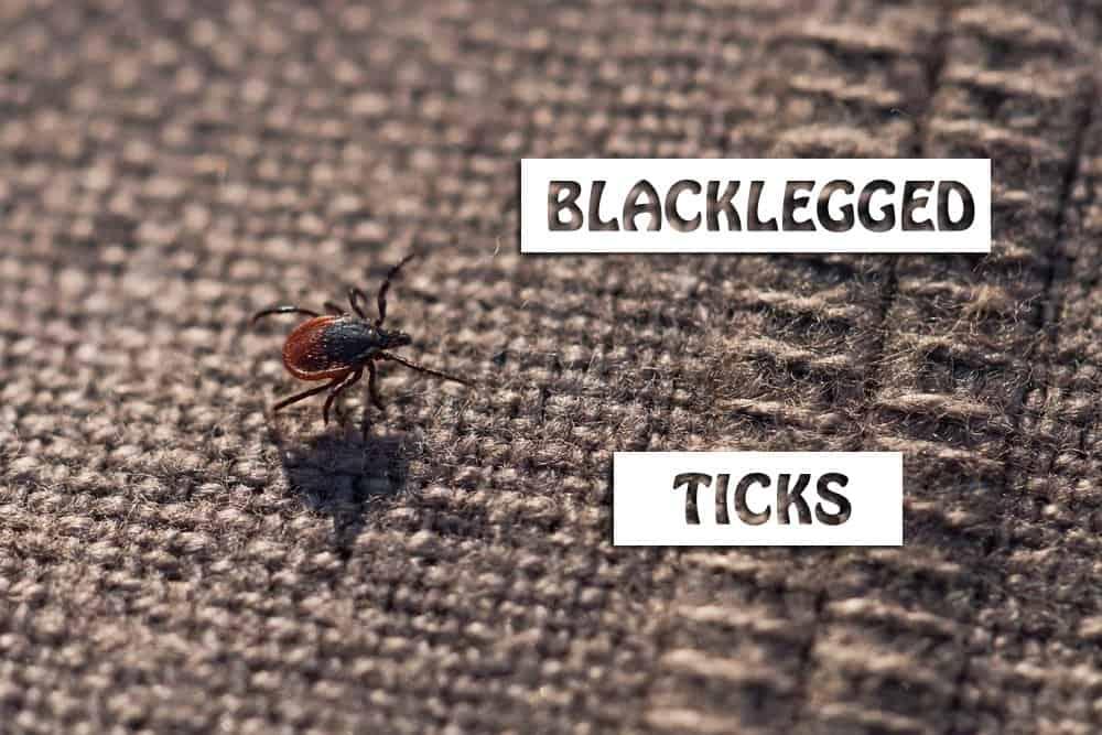 blacklegged tick