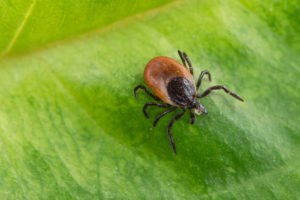 Interesting tick on a green leaf. Dangerous parasite and carrier of infection. Ixodes ricinus.