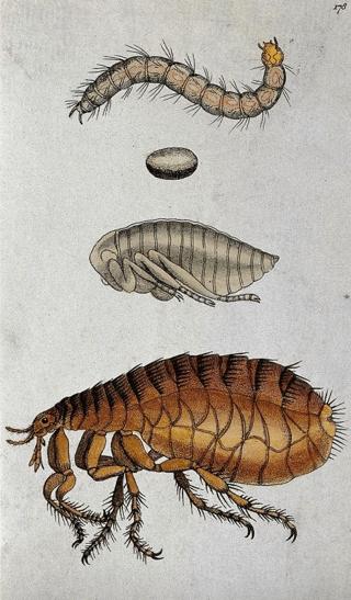 Dog flea, larva, egg, and adult