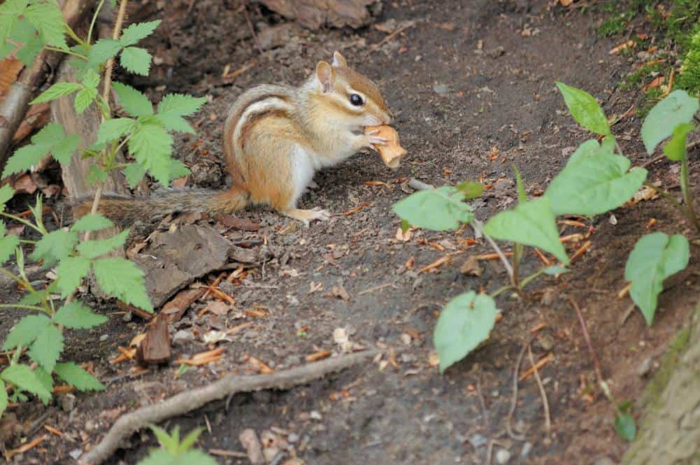 Chipmunk eating habits