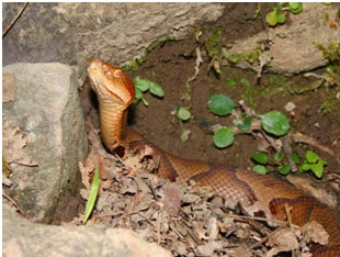 8 Ways To Keep Your Yard Free From Copperhead Snakes