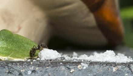 Getting rid of sugar ant