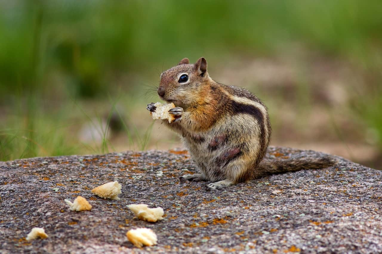 Chipmunk feeding habits