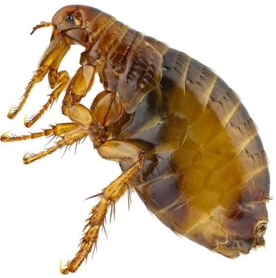 close-up of a flea