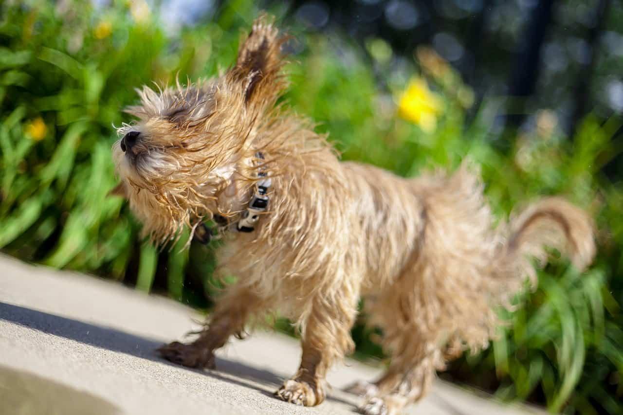 dog with flea