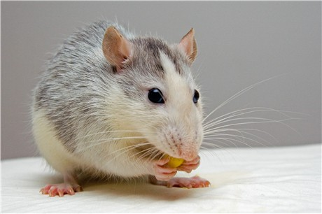 How to Get Rid of Mice in an Apartment - Pest Wiki